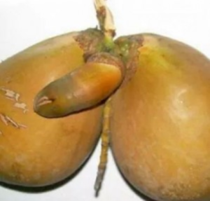 gambar buah kelapa unik aneh lucu