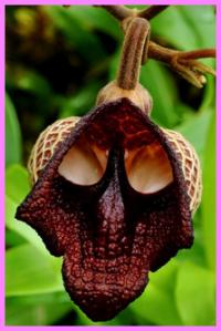 Bunga hollowen, bunga ini bentuknya seram juga yah, seperti namanya