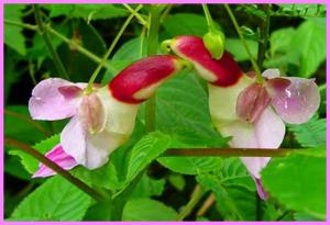 Impatients Psittacina, nah bunga ini mirip apa hayoo, mirip burung beo khan
