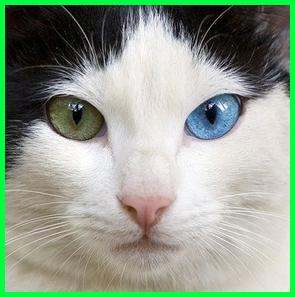 kucing imut bermata biru