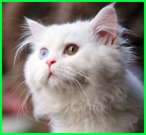 kucing ini memiliki warna mata yang cantik