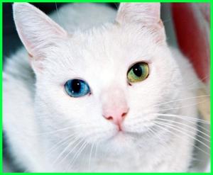 kucing persia cantik berbeda warna mata