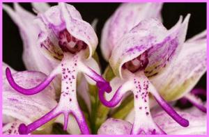 (Orchis Italica) bunga ini mirip orang telanjang
