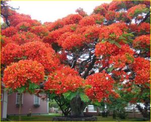 pohon asal madagaskar dengan bunga berwarna Orange