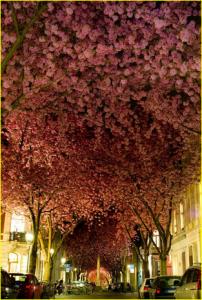 pohon blossom dengan warna romantis, fhoto di ambil saat bunga mekar pada bulan April
