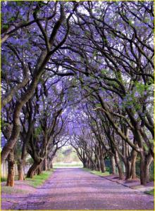pohon indah dengan perpaduan warna kuning dan ungu, sangat menabjubkan