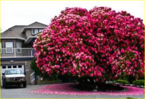 pohon ini adalah pohon tua yang warna bunganya masih tetap indah