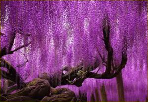 pohon unik dengan daun berwarna ungu