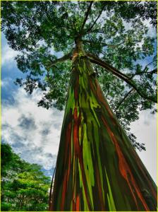 pohon unik yang tinggi dengan warna seperti warna baju tentara indonesia, Wauu..