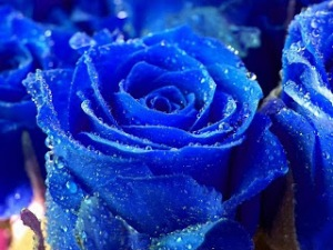 BeautifulBlueRoseWallpaper
