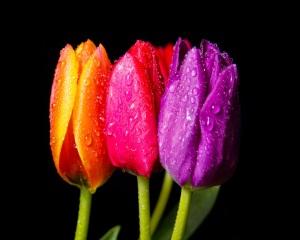 tulips_desktop_background