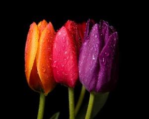 tulips_dWallpaper HD Keren Untuk Dekstop Dan Android-esktop_background