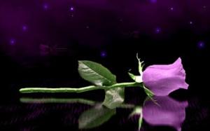 Wallpaper HD Keren Untuk Dekstop Dan Android- purple-rose