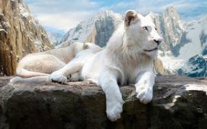 white-lions Wallpaper HD Keren Untuk Dekstop Dan Android-