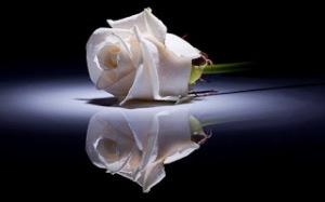 white_rose Wallpaper HD Keren Untuk Dekstop Dan Android-