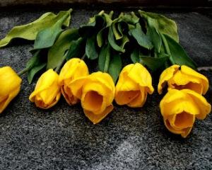 yellow_tulipsWallpaper HD Keren Untuk Dekstop Dan Android-